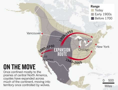 Graphic Courtesy of Nature.com (Click on it to read article on Coyotes)